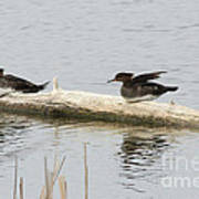 Wood Duck Females On A Log  Poster
