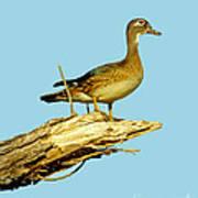 Wood Duck Hen In Tree Poster