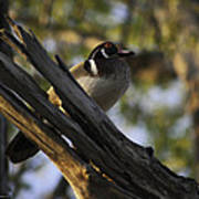 Wood Duck Morning Poster