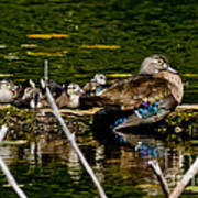 Wood Duck Rest Time Poster