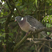 Wood Pigeon Poster
