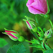 Wood Rose Buds Rosa Woodsii Wild Poster