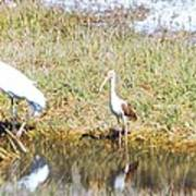 Wood Stork And Ibis And Heron Poster