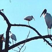 Wood Stork And Ibis Poster