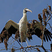 Wood Stork Preparing To Fly Poster