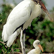 Wood Stork With Nestling Poster
