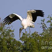 Wood Storks Poster