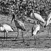 Wood Storks In Black And White Poster