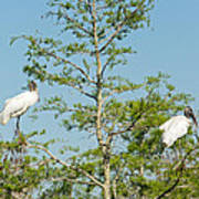 Wood Storks In The Everglades Poster