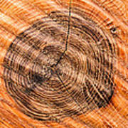 Wood Surface With Annual Rings Poster