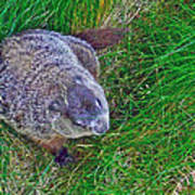 Woodchuck In Salmonier Nature Park-nl Poster