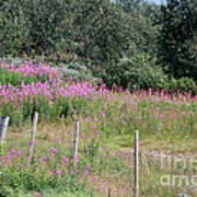 Wooden Fence And Pink Fireweed In Norway Poster