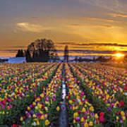 Wooden Shoe Tulip Festival Sunset Poster
