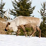 Woodland Caribou Poster