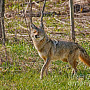 Woodland Coyote Poster