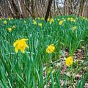 Woodland Daffodils Poster