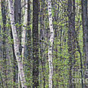 Woodland Spring Poster