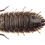 Woodlouse Species Porcellio Wagnerii Poster