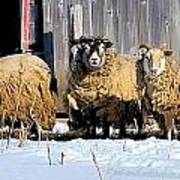 Wooly Sheep In Winter Poster