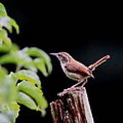 Wren - Carolina Wren - Bird Poster
