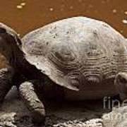 yawning juvenile Galapagos Giant Tortoise Poster