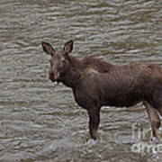 Yearling Moose In The Shoshone River   #1284 Poster