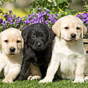 Yellow And Black Labrador Puppies Poster