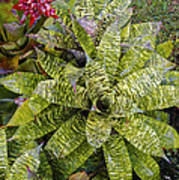 Yellow And Green Bromeliad Poster