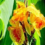 Yellow And Orange Canna Lily Poster