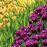 Yellow And Purple Tulips Poster