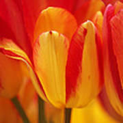 Yellow And Red Striped Tulips Poster