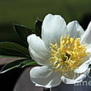 Yellow And White Peony Flower Poster