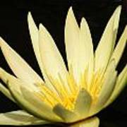 Yellow And Yellow Waterlily...   # Poster
