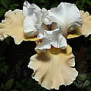 Yellow Bearded Iris Poster