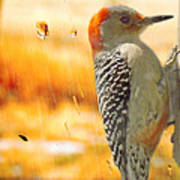 Yellow-bellied Woodpecker Poster