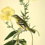 Yellow-bellied Flycatcher Poster by Philip Ralley