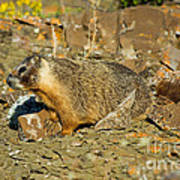Yellow-bellied Marmot Poster