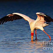 Yellow-billed Stork Hunting For Food Poster
