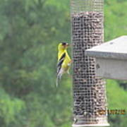 Yellow Bird Feeding Poster