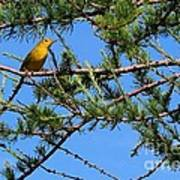 Yellow Bird In A Juniper Tree Poster