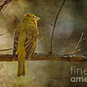 Yellow Bird Resting Poster by Pam Vick
