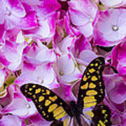 Yellow Black Butterfly On Hydrangea Poster