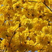 Yellow Blossoms Of A Tabebuia Tree Poster