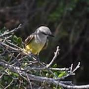 Yellow Breasted Kingbird Poster
