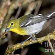 Yellow-breasted Vireo Poster
