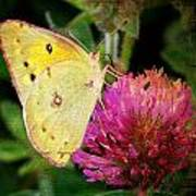 Yellow Butterfly On Pink Clover Poster