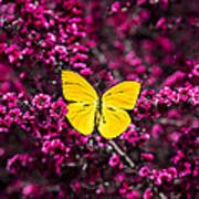 Yellow Butterfly On Red Flowering Bush Poster
