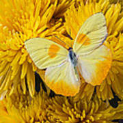 Yellow Butterfly On Yellow Mums Poster