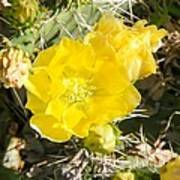 Yellow Cactus Blooms And Buds Poster