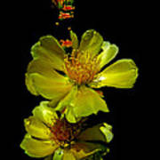 Yellow Cactus Flowers And Buds Poster